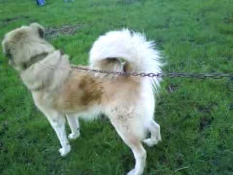 Qeni i sharrit tu perla