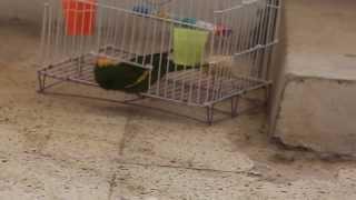 Lorito escapa de su jaula