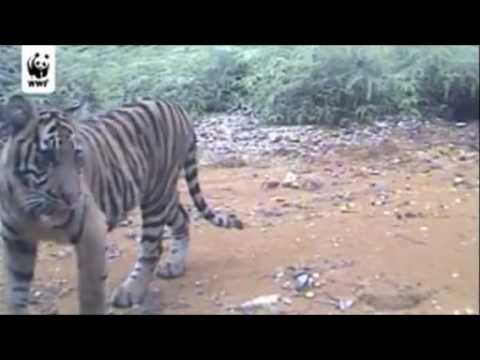 Video- Wild Sumatran tiger cubs caught on film - Environment - guardian.co.uk