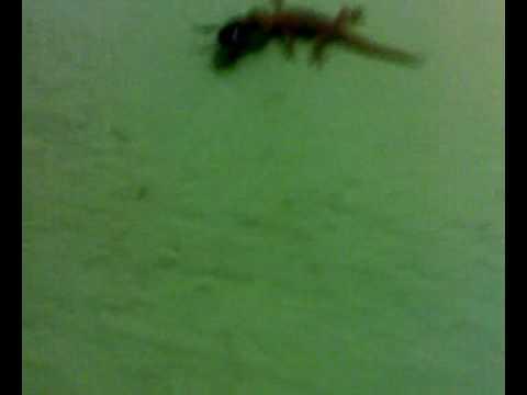 Lizards Eat Roaches Lizard Eating Cockroach