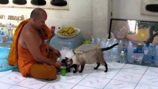 Ultimate cutest new born kitten with mum EVER!  - Buddhist temple - Hat Yai - Thailand - 720p HD