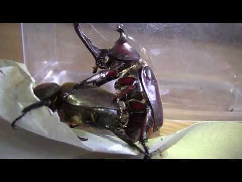 Japanese Rhinoceros Beetles - Mating Music Videos