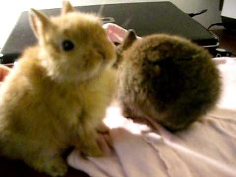 cute baby dwarf bunnies - YouTube