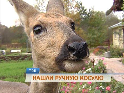 В Пермском крае к грибникам прибилась потерявшаяся косуля