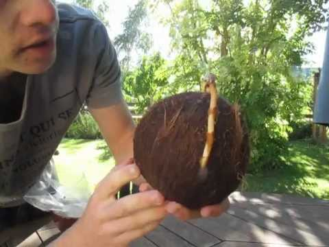 How to Grow a Coconut Palm from a Dehusked Coconut. Step-by-step