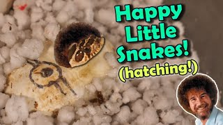 MORE Baby Hognoses are Hatching!! (including mini Bob Ross)