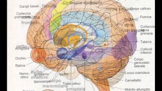 valter49 - parliamo dell'amigdala e di emozioni dal pdv sperimentale