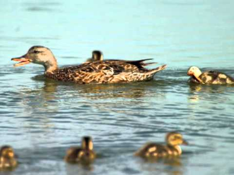 Gadwall - Duck Species Profile