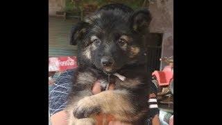 ultimate quality gsd puppy only Rs12000