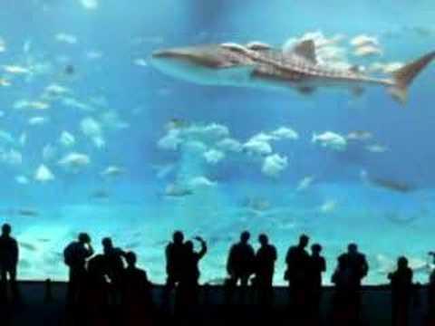 WORLD LARGEST FISH WHALE SHARK IN OKIANAWA ISLAND