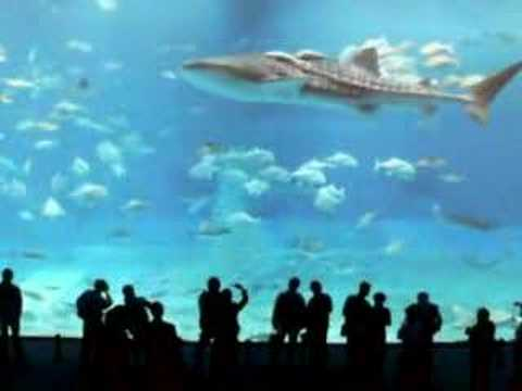 WORLD LARGEST FISH WHALE SHARK IN OKIANAWA ISLAND Video