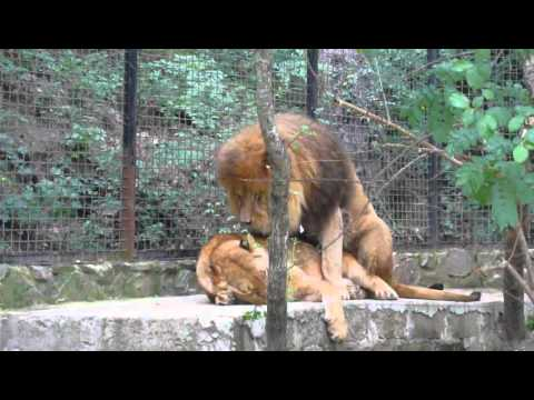 Lions Sex In Yalta Zoo 2012 video