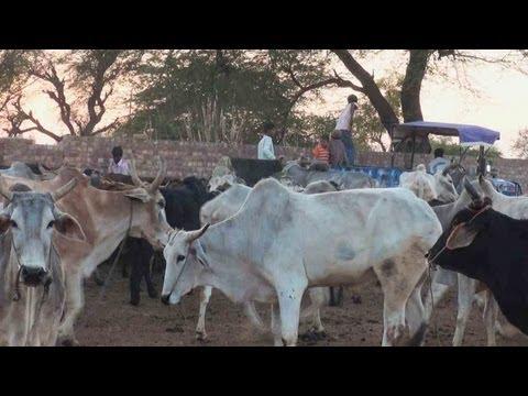 Feeding Cattle, Cattle farm, Hisar