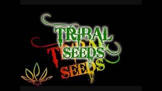 Watch Tribal Seeds Beautiful Mysterious video