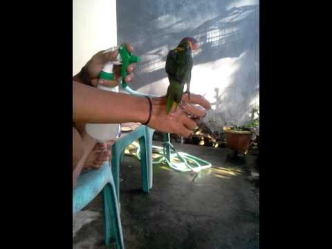 Cara Memandikan Burung Nuri Agar Cepat Jinak video