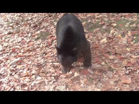 A Bluff Charge By A Black Bear   Not A Black Bear Attack