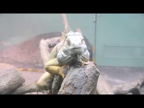 2010年4月6日 東山動植物園 - イグアナ