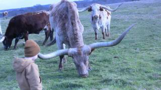 Texas Longhorns - Longhorn Cattle Ranch - Stark Ranch