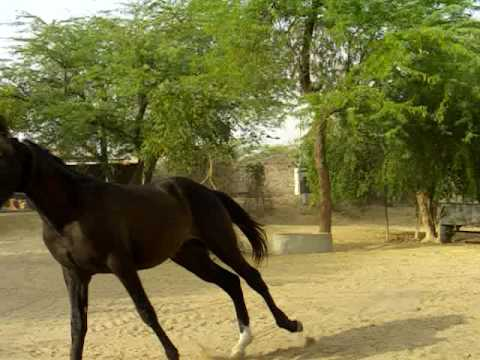 Marwari Horse Dilshan video