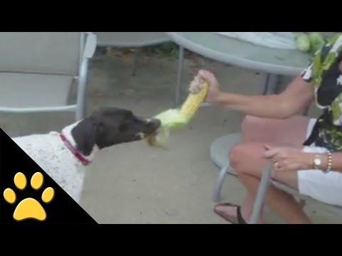 トウモロコシの皮剥きをしているママのお手伝いをする犬
