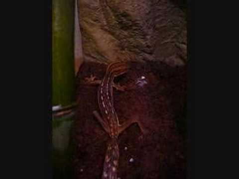 Lined Leaf Tail Gecko (Uroplatus Lineatus) eats a roach Video