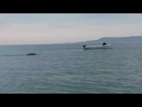 Was shooting in Lough Foyle when this thing went past us. It was massive. Really don't know what it was. There have been whales in the Lough before so maybe ...