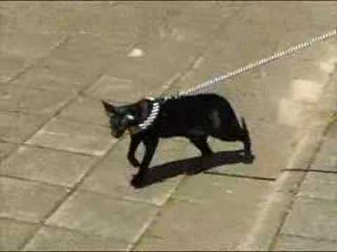 My sweet Oriental Shorthair Cat Video