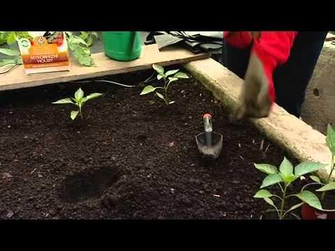 Výsadba paprik