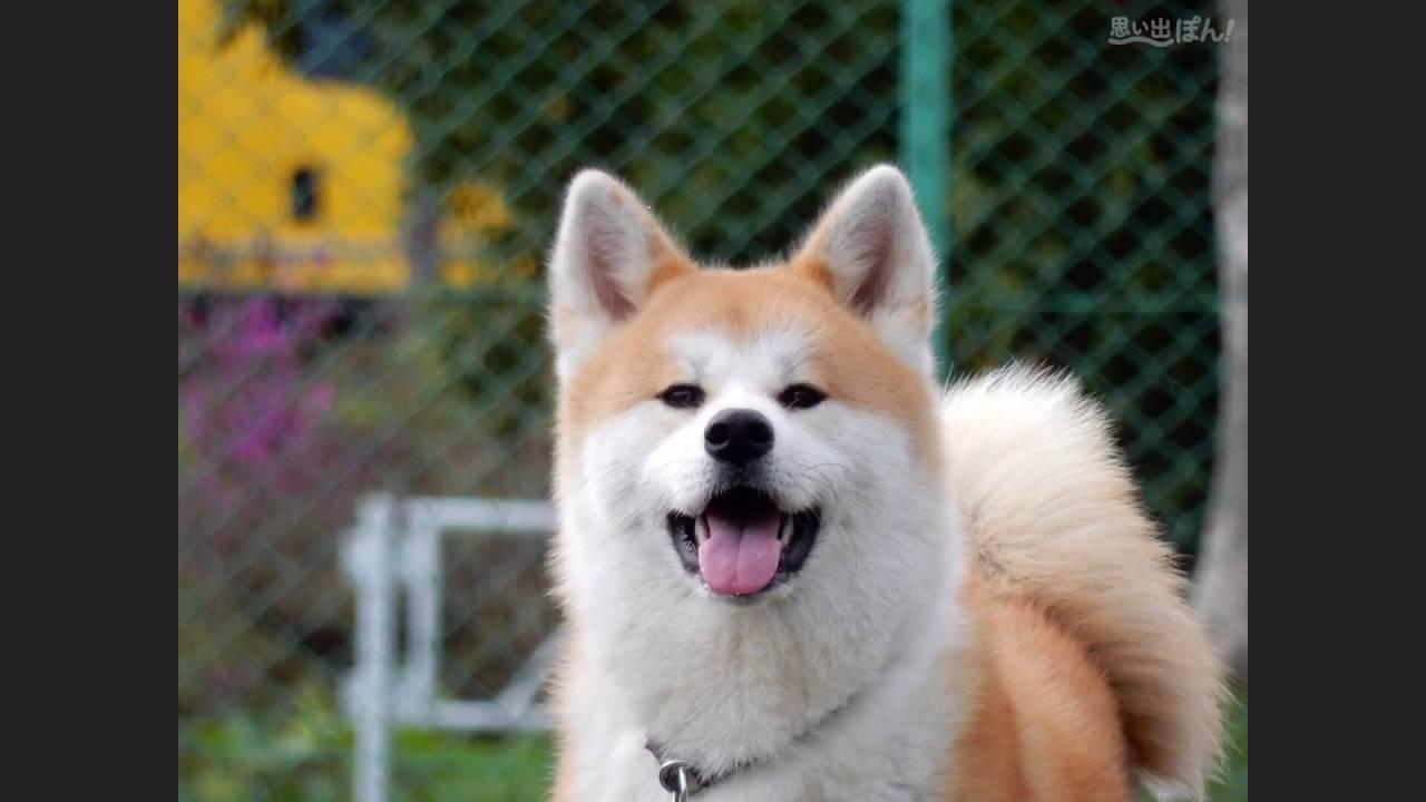 秋田犬の画像 p1_27