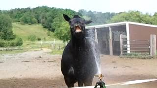 Percheron in the sprinkler !!
