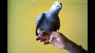 african grey in (Preethi Farms)