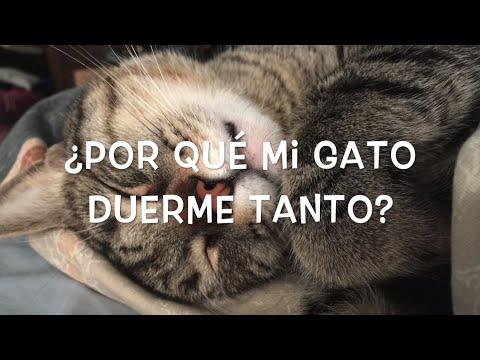 ¿Por Qué Mi Gato Duerme Mucho? /¿Cuántas Horas Duerme Un Gato? -SiamCatChannel