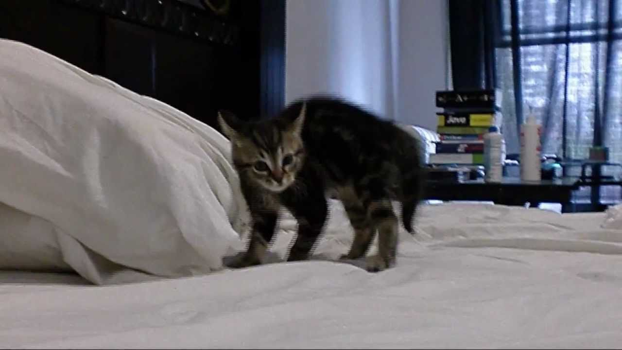 KITTEN CRAB WALK  Walking Cat Gif Funny