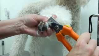 How to clip a Poodles nails