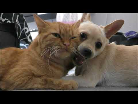 Собака чихуахуа Сонечка любит свою подружку кошку Ласку