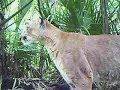 Florida Panther Rebound Upsets Ranchers