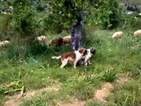 Προβατα Βασιλη Κουνουπη19 κουταβια τσοπανοσκυλα