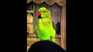 Mano talking parrot 1