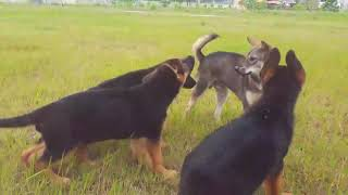 Puppies 2 months play with their friends -German shepherd dog-GSD