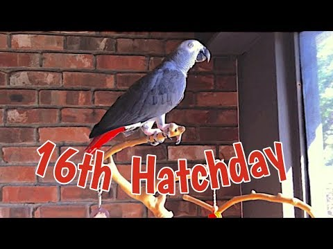Einstein the Parrot's Sweet 16 Hatchday - Welcome to the Birdhouse!
