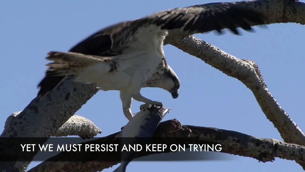 Eagles Hunting Fish Eagle Catching Big Fish