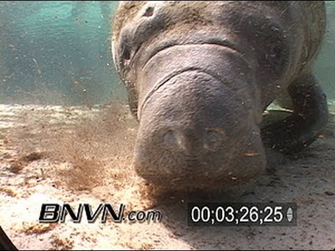 Manatees at the Three Sisters Spring in Crystal River Florida. March 2007 Part 4 of 5