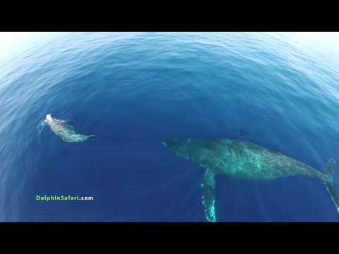 drones-over-dolphin-stampede-and-whales-off-dana-point-and-maui.html