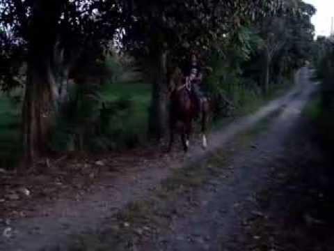 Caballos de Paso Costarricense en Venta Venta Caballo Costarricense de