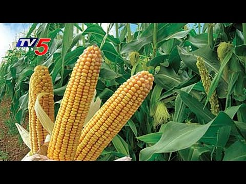 Corn Farmers Are Happy With Remunerative Prices | Annapurna | TV5 News