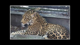 Escaped Jaguar Kills 6 Animals At New Orleans Zoo World Today