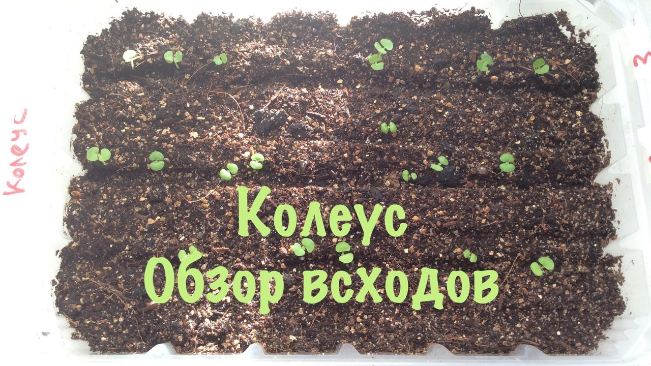 Колеус как сажать из семян