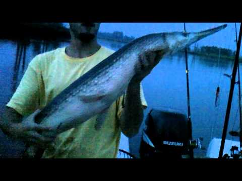 cape fear river huge gar