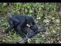 documentaire - tendresses animales - les singes - complet en français