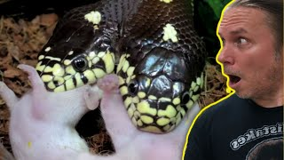 TWO HEAD SNAKE FIGHTS OVER FOOD!! | BRIAN BARCZYK